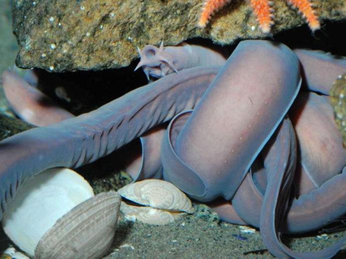 盲鳗属于圆口动物,是地球上出现最早的脊椎动物之